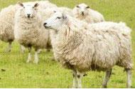 ラム(子羊)