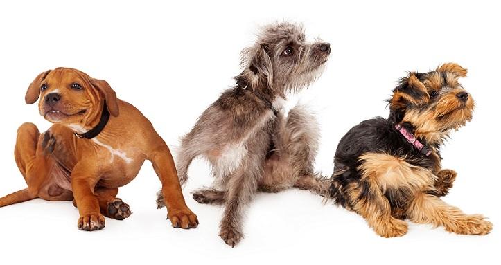 犬の皮膚や耳の炎症!?マラセチアによる皮膚炎の治療法について