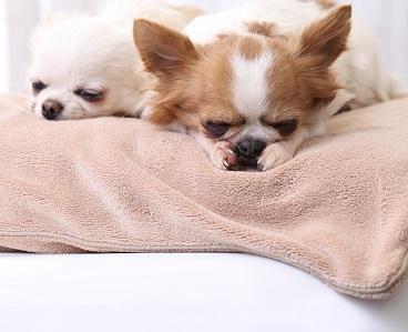 寝 鳴く 犬 ながら