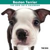 THE DOGカレンダー2012 ボストン・テリア
